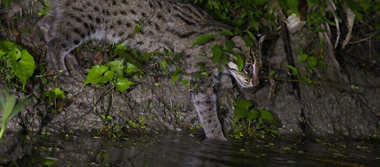 A Water Loving Cat