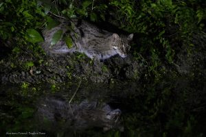 Fishing Cat Expeditions